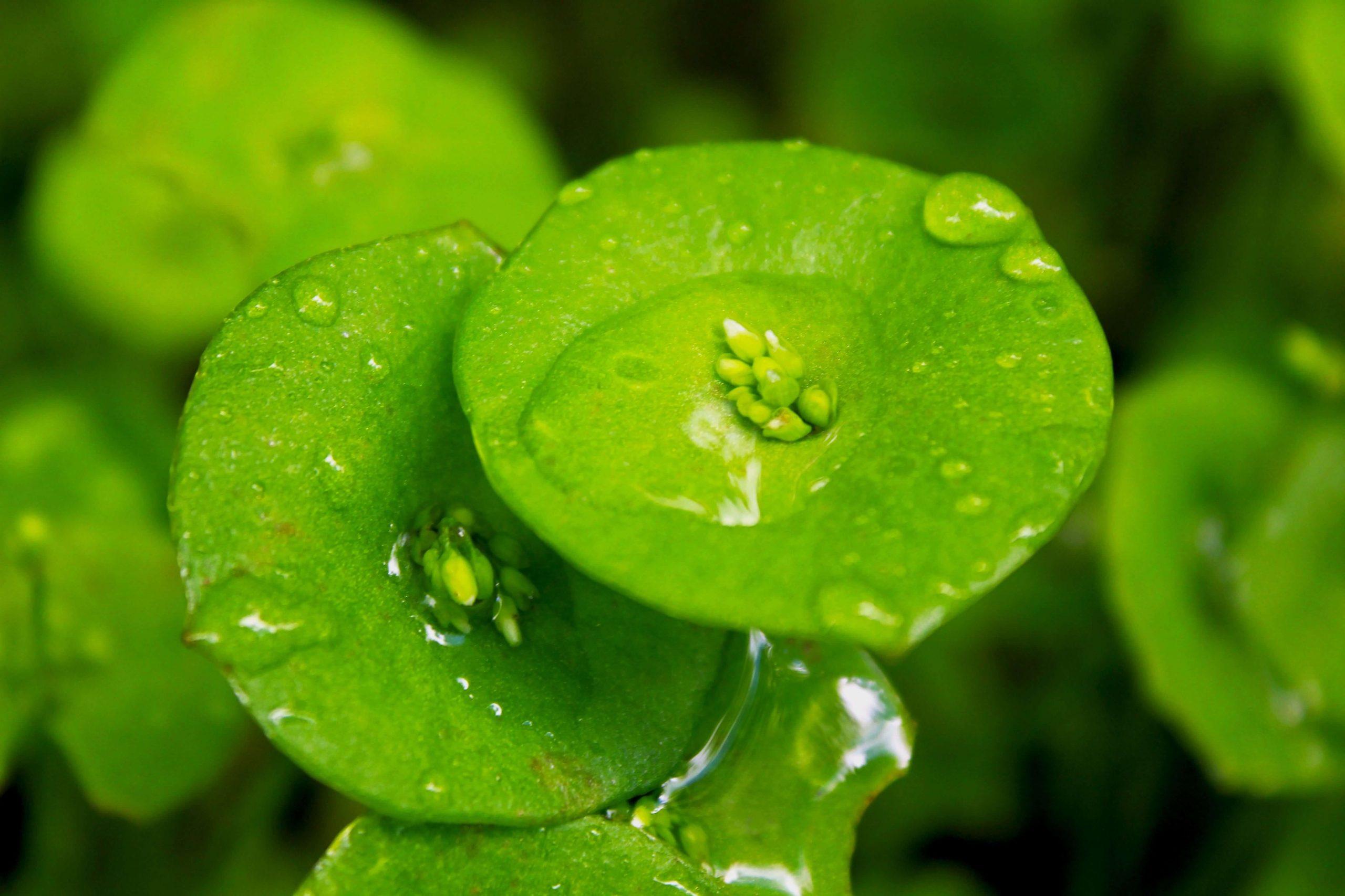Miner's Lettuce-offgird survival