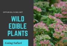 Wild edible plants-offgridlivig.net