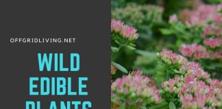 Wild edible plants-offgridlivig.net